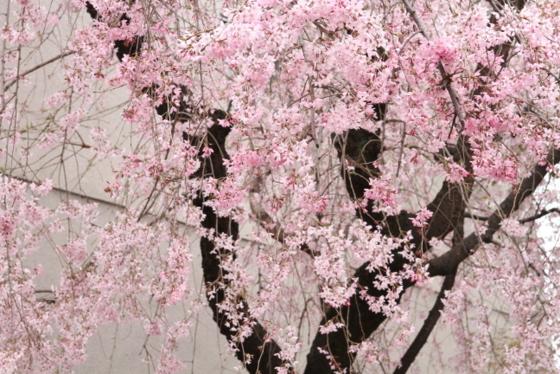 トライアル桜_0015