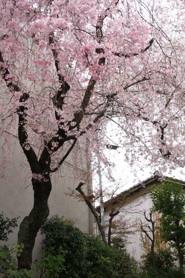 トライアル桜_0016