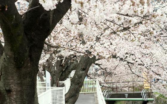 トライアル桜_0004