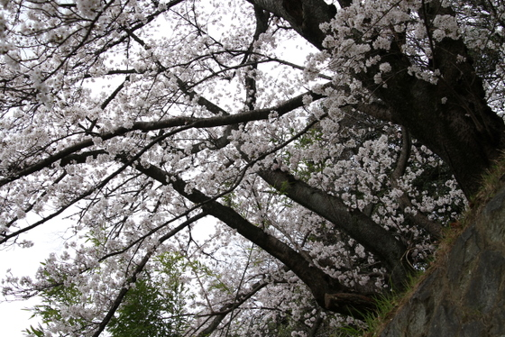 タライアル桜_0006