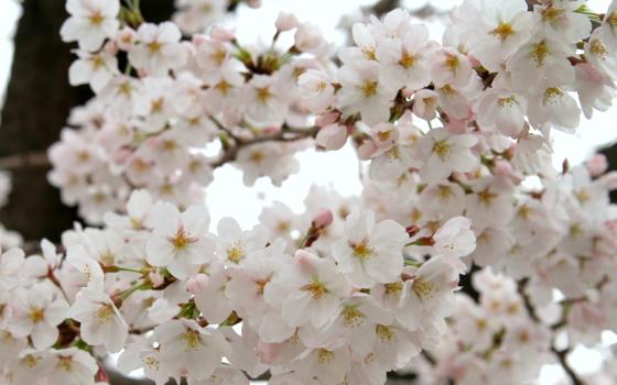 トライアル桜_0002