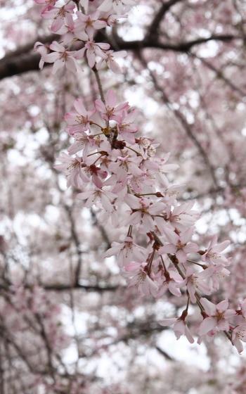 トライアル桜_0018