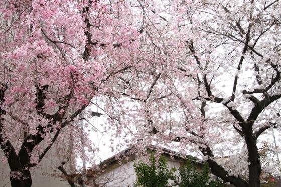 トライアル桜_0017