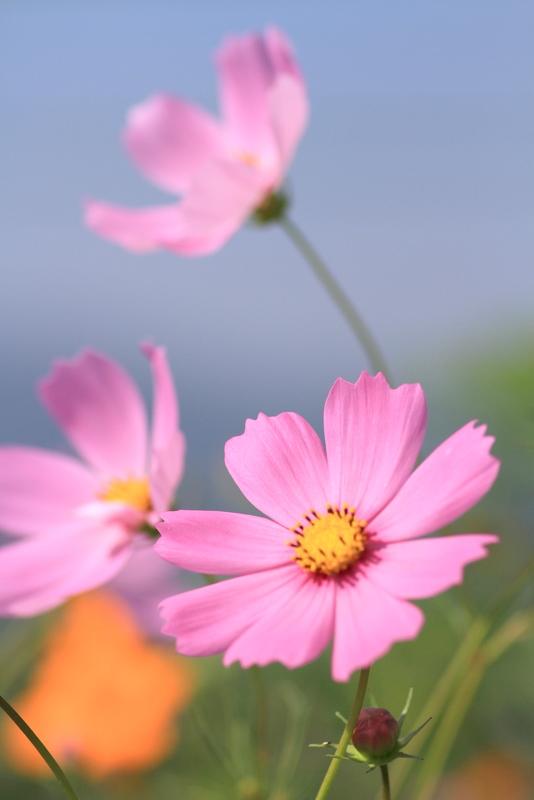 秋桜20111009_0053