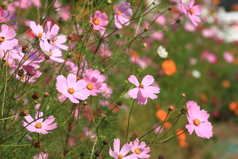 秋桜20111009_0051