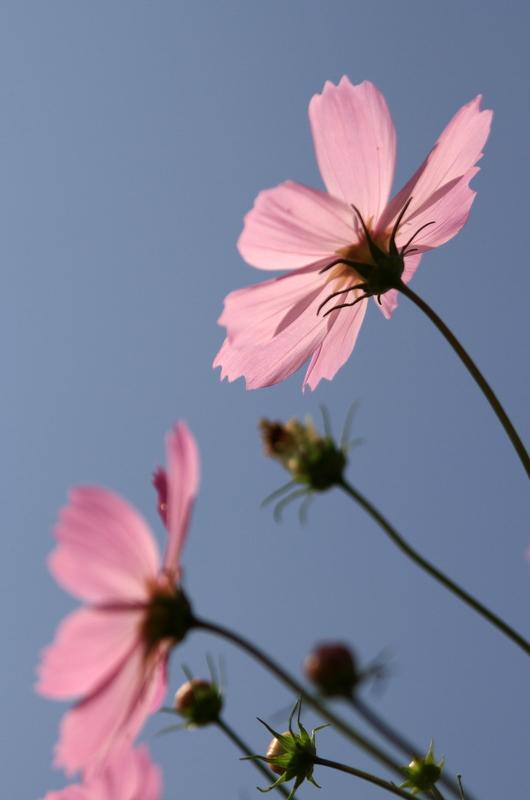 秋桜20111009_0008