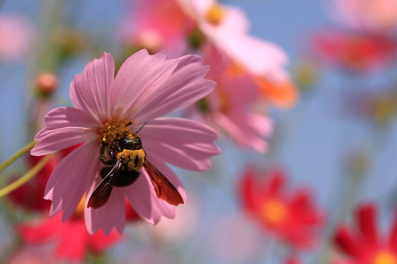 秋桜蜂20111009_0039