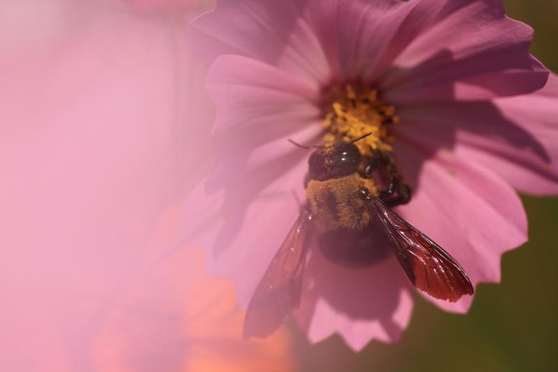 秋桜蜂20111009_0012