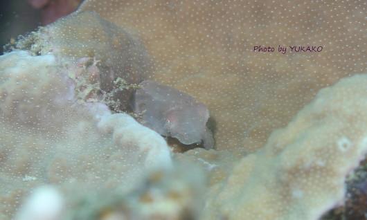 コブシメ幼体