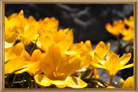 クロッカス 春の花