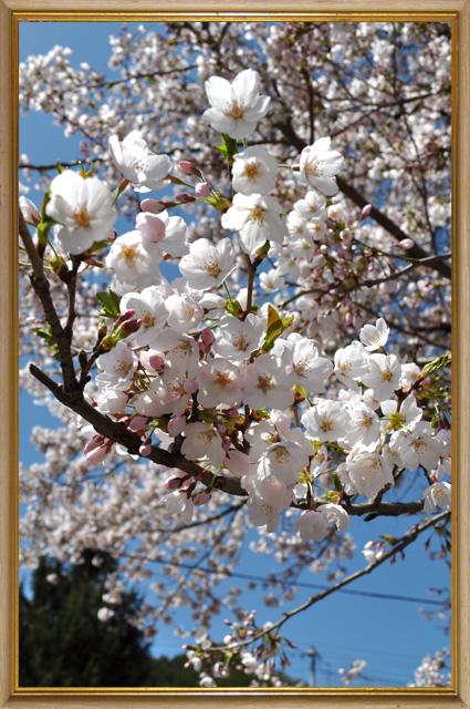南会津 桜