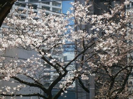 tamachisakura1.jpg