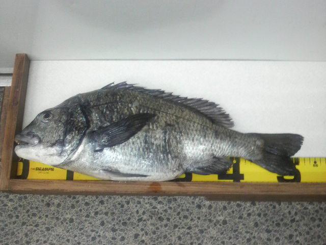チヌ 53.5cm