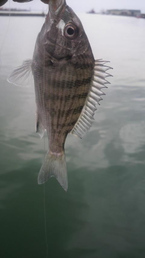 11.14  黒稚魚