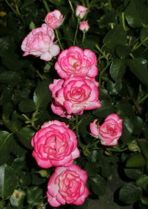 鶴舞 薔薇