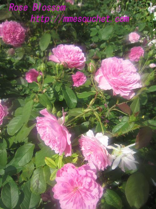 rose201008181.jpg