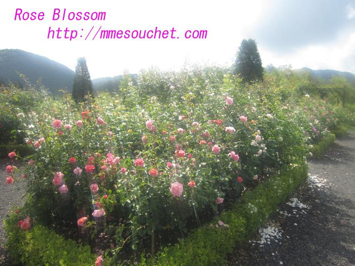 rose201008182.jpg