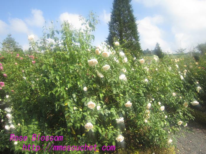 rose201008185.jpg