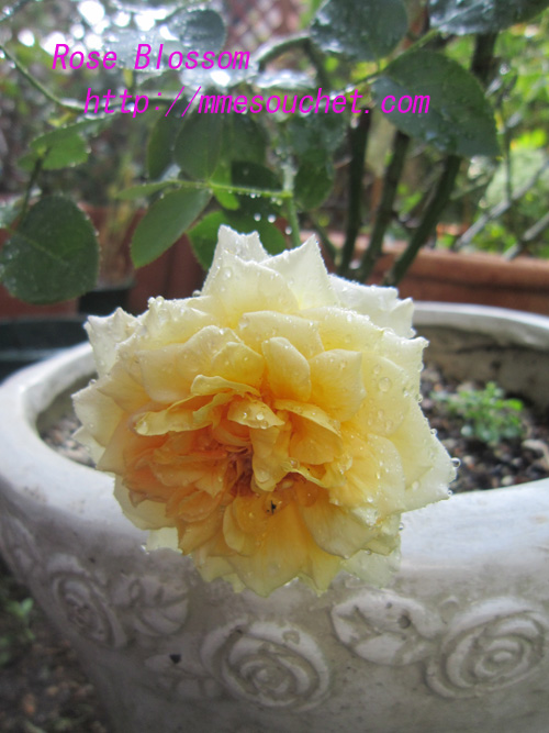 rose20100827.jpg