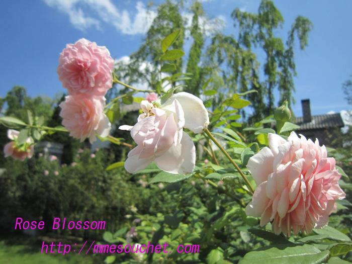 rose20100830.jpg