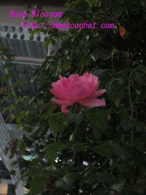 rose20100911.jpg