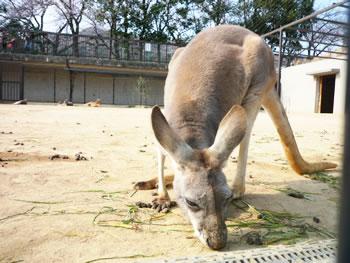 王子動物園 カンガルー