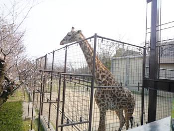 王子動物園 キリン