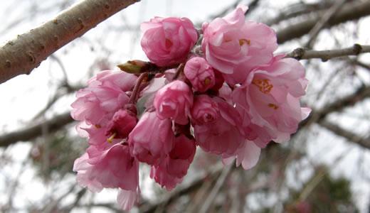 岡本南公園観桜会2012-2