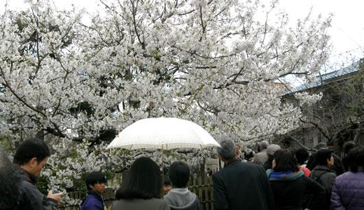 白鶴酒蔵開放・六甲アイランドチューリップ祭・岡本南公園観桜会-3