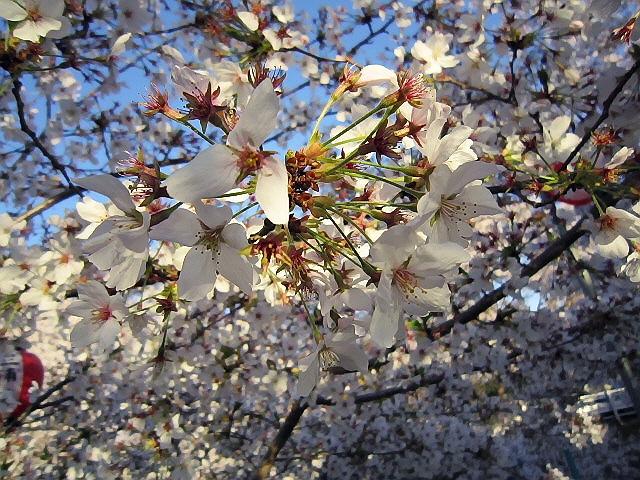 雪之御所で花見♪