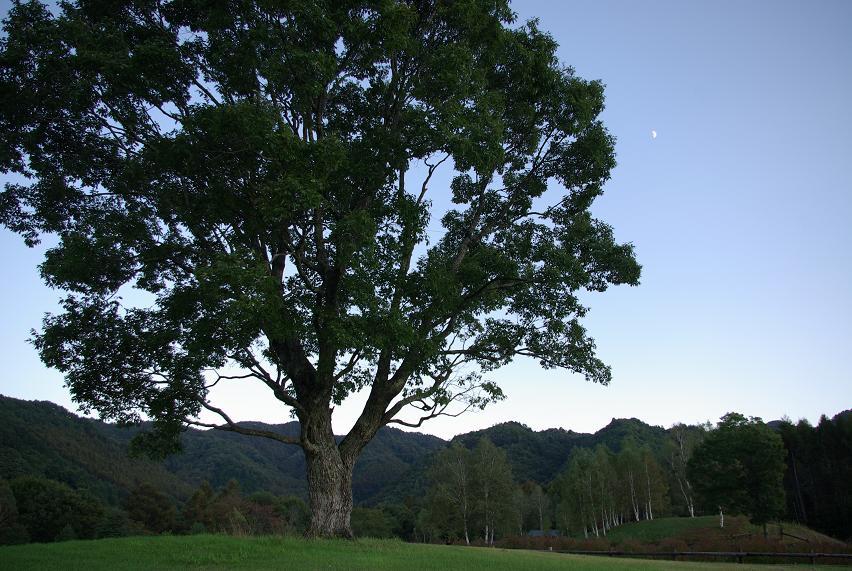 コナラの樹