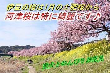 sakurasin_20130130023246.jpg