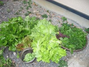 朝収穫した野菜