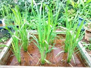 裏庭の黒米(古代米)6月23日  川越KOME山田屋