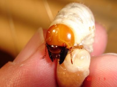 ヒラタ幼虫特徴6