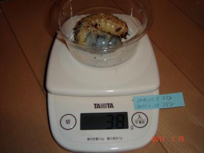 110115国産カブト幼虫体重3番
