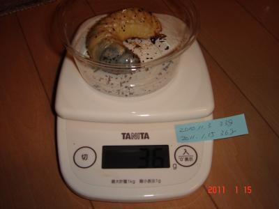 110115国産カブト幼虫体重5