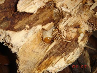 2011.2.27 朽木幼虫