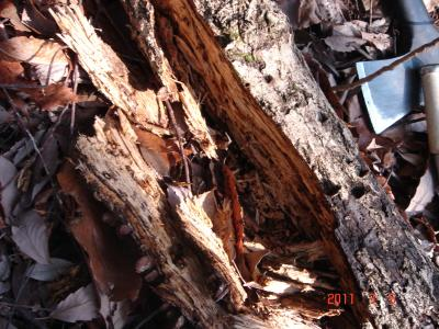2011.3.5 朽木割り
