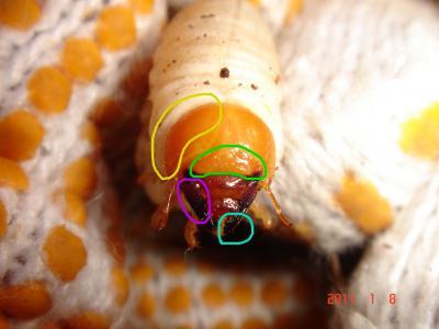 コクワ幼虫特徴1