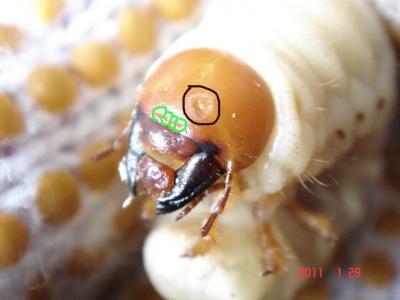 ミヤマ幼虫特徴斜め