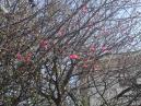 池上梅の花