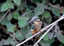 0816_1_カワセミの幼鳥