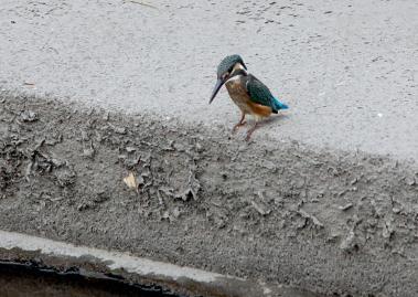 0820_1_カワセミの幼鳥