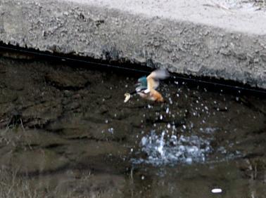 0820_2_カワセミの幼鳥