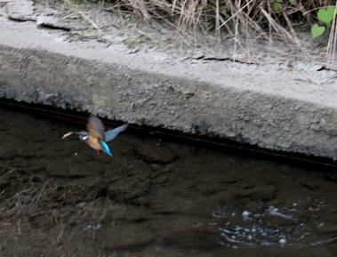 0820_3_カワセミの幼鳥