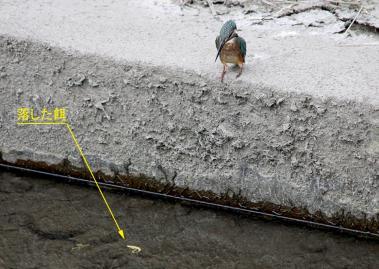 0820_4_カワセミの幼鳥