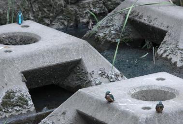 0820_7_カワセミの幼鳥達