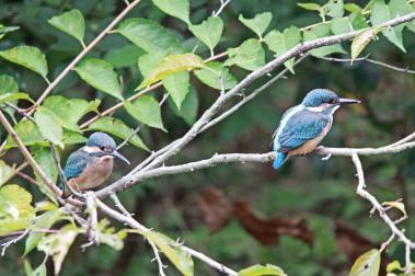 0820_8_カワセミの幼鳥達