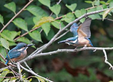 0820_9_カワセミの幼鳥達